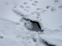 Mink tracks heading to an ice entrance