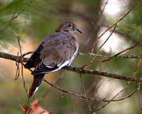 White winged Dove - A rare find in Sturbridge